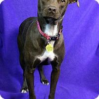 Adopt A Pet :: MAKI - Westminster, CO