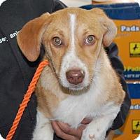 Adopt A Pet :: Dixie - Brooklyn, NY