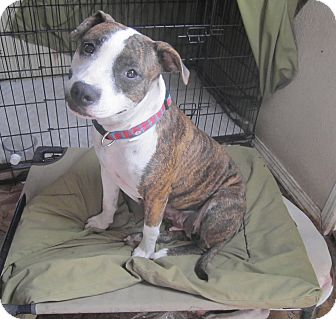 American Pit Bull Terrier Mix Dog for adoption in Copperas Cove, Texas - Liberty