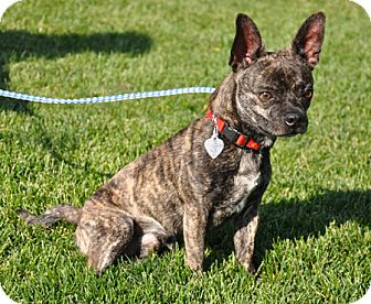 American Staffordshire Terrier Brindle Mix | Dog Breeds ...