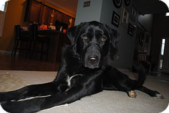 Labrador Retriever/Great Pyrenees Mix Dog for adoption in Foster, Rhode Island - Dorothy