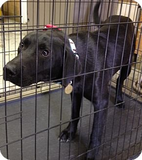 Labrador Retriever Mix Dog for adoption in Richmond, Virginia - Baker