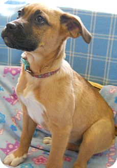 Shepherd (Unknown Type)/American Pit Bull Terrier Mix Puppy for adoption in River Falls, Wisconsin - Dawn