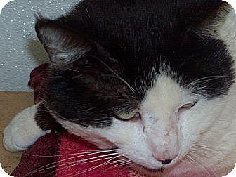 Domestic Shorthair Cat for adoption in El Cajon, California - Arthur