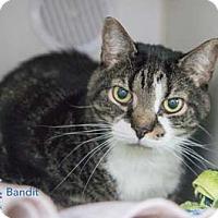 Adopt A Pet :: Bandit - Merrifield, VA