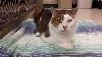 Domestic Shorthair Cat for adoption in Lima, Ohio - Randy