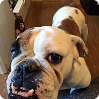 Adopt A Pet :: Harlow - Park Ridge, IL