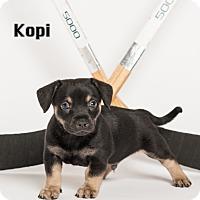 Adopt A Pet :: Kopi - Irvine, CA