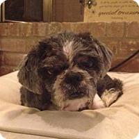 Shih Tzu Mix Dog for adoption in Houston, Texas - Phoenix Bexar