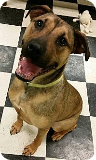 German Shepherd Dog/Boxer Mix Dog for adoption in Struthers, Ohio - Saphira 1 YR OLD