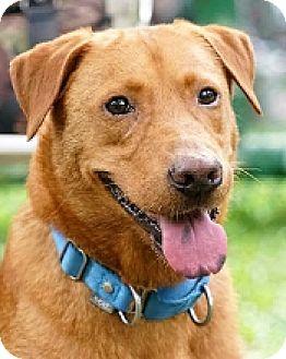 Labrador Retriever Mix Dog for adoption in San Francisco, California - York