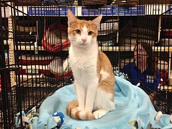 Domestic Shorthair Kitten for adoption in Ephrata, Pennsylvania - Eli Joe