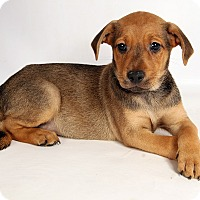 Adopt A Pet :: Scooter Catahoula Mix - St. Louis, MO