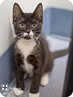 Domestic Shorthair Kitten for adoption in Merrifield, Virginia - Manowar