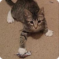 Adopt A Pet :: Maddux - Dallas, TX