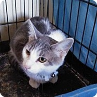 Domestic Shorthair Kitten for adoption in Glenpool, Oklahoma - Carla