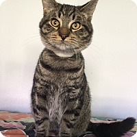 Maine Coon Cat for adoption in Grand Ledge, Michigan - Grady