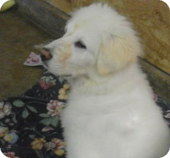 Great Pyrenees Mix Puppy for adoption in Granite Bay, California - SAGE