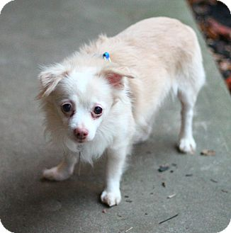 Chihuahua Dog for adoption in Lafayette, Indiana - Frosty