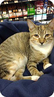 Domestic Shorthair Kitten for adoption in Richmond, Virginia - Sarah