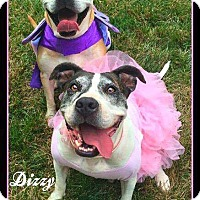 Adopt A Pet :: Dizzy - Salisbury, NC