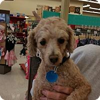 Adopt A Pet :: Ziggy - Apple Valley, UT