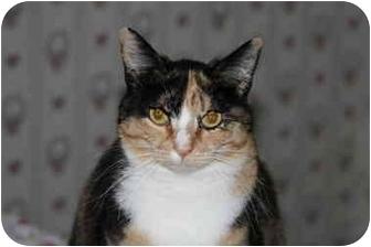 Calico Cat for adoption in Everett, Washington - Miss Paint