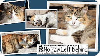 Calico Cat for adoption in Davie, Florida - Majic
