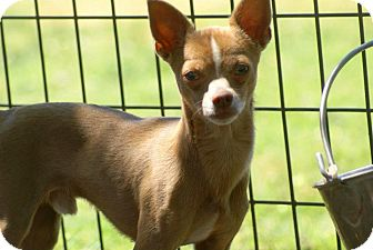 Chihuahua Mix Dog for adoption in Yuba City, California - 04/25 Niko