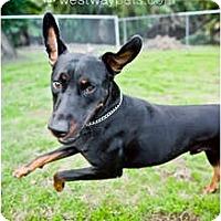 Adopt A Pet :: Ranger - Santee, CA