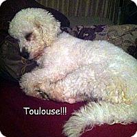 Adopt A Pet :: Toulouse - St. Robert, MO