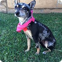 Adopt A Pet :: POLLY - Irvine, CA