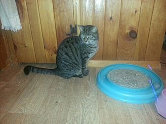Domestic Shorthair Cat for adoption in Trexlertown, Pennsylvania - Sarah-New Pics!