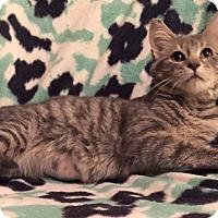 Adopt A Pet :: Sahara - Addison, IL