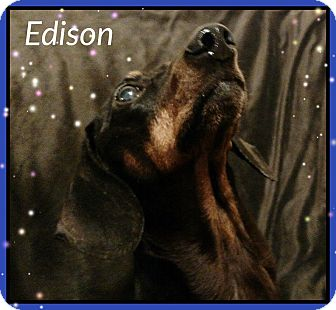 Dachshund Dog for adoption in Green Cove Springs, Florida - Edison
