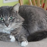 Domestic Longhair Cat for adoption in Thibodaux, Louisiana - Oliver