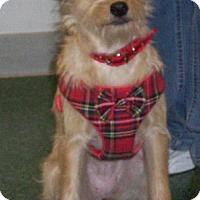 Cairn Terrier Mix Puppy for adoption in Grand Prairie, Texas - Jillian