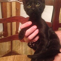 Domestic Shorthair Kitten for adoption in Clarksville, Tennessee - Midnight