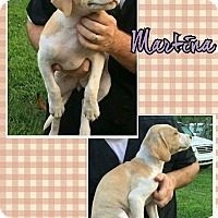Adopt A Pet :: Martina Adoption pending - Manchester, CT