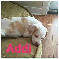Adopt A Pet :: Addi - fort wayne, IN