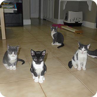 Domestic Shorthair Kitten for adoption in Harrison, New York - Omar's Kittens