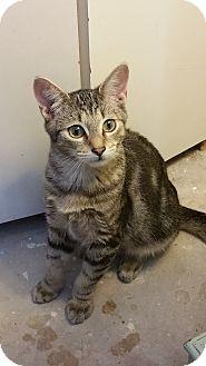 Domestic Shorthair Kitten for adoption in Adona, Arkansas - AJ
