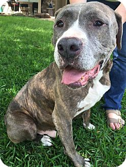 Mastiff/Pit Bull Terrier Mix Dog for adoption in Ann Arbor, Michigan - A - CHARLIE