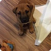 Adopt A Pet :: Beans - Houston, TX