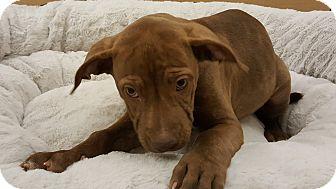 Catahoula Leopard Dog Mix Puppy for adoption in Gilbert, Arizona - Felicia