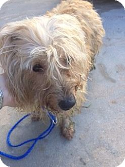 Havanese/Cairn Terrier Mix Dog for adoption in Fort Lauderdale, Florida - BUDDY
