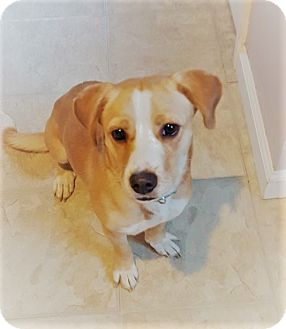 Beagle/Dachshund Mix Dog for adoption in Glastonbury, Connecticut - Clary~meet me!~new video!