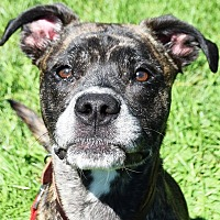 Boxer/American Staffordshire Terrier Mix Dog for adoption in Huntley, Illinois - Lex