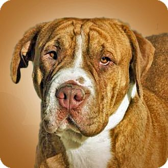 Shar Pei Mix Dog for adoption in Prescott, Arizona - Bella