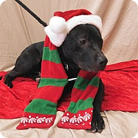 Labrador Retriever/Border Collie Mix Dog for adoption in Montgomery City, Missouri - Otis